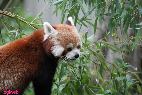 Red panda | by Annemieps