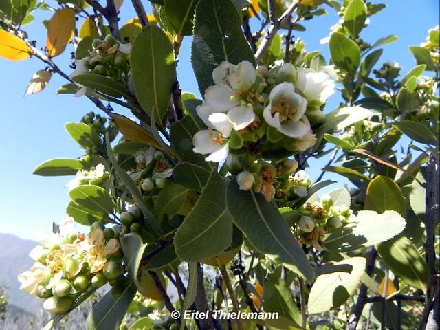 Kageneckia oblonga, flores