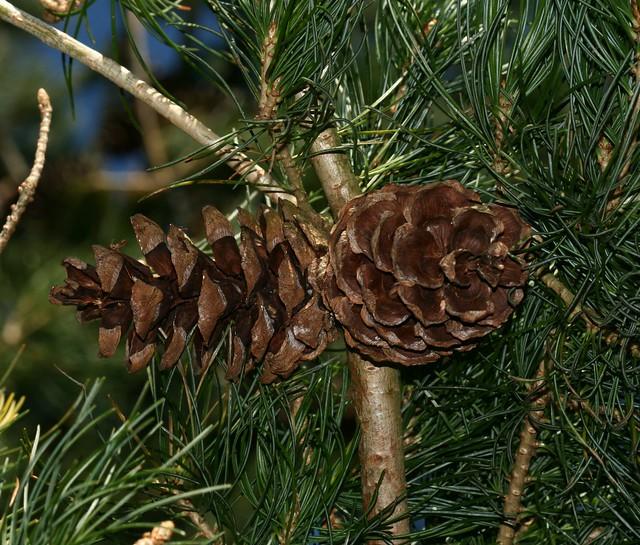 Pinus parviflora (Japanese White Pine)