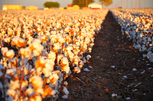 Cotton Harvest | by kimberlykv