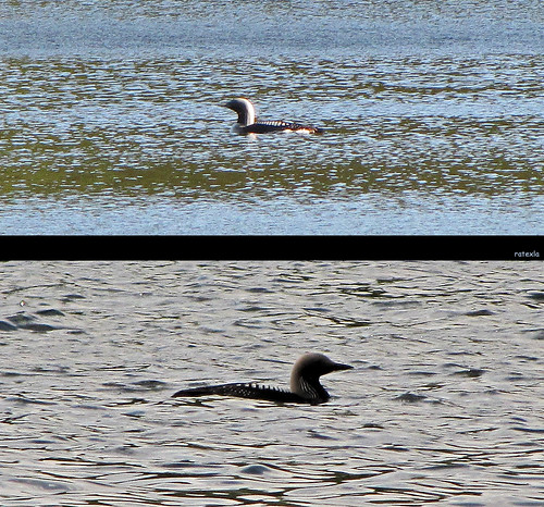 20090913_03 + 20110630_4 Black-throated loons (Gavia arctica) 800000000000000000 miles out in Lake Delsjön | Gothenburg, Sweden | by ratexla