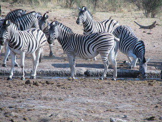 Zebras | by geomology