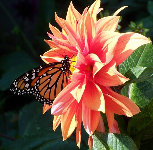 Butterfly on orange2