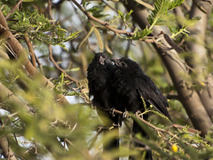 Groove-billed ani (Crotophaga sulcirostris)