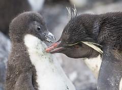 Rockhopper Penguins, Falklands