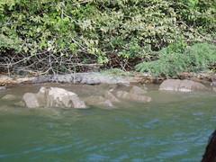 Crocodile, Sumidero Canyon