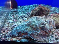 Stonefish at Palau Aquarium