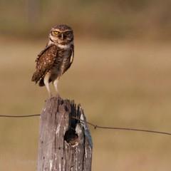 Burrowing Owl, South Pantanal, Brazil.