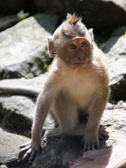 Young monkey, Grojogan Sewu, Java