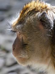 Monkey, Grojogan Sewu, Java