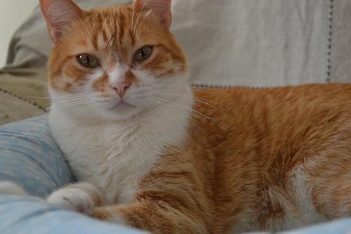 Le chat orange bianca bueno flickr - Chat orange ...