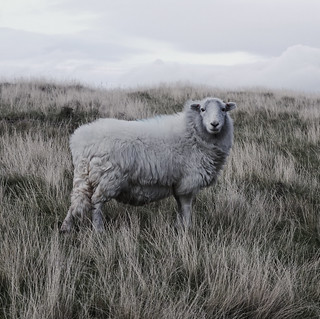 Welsh sheep | by Andy Spearpoint
