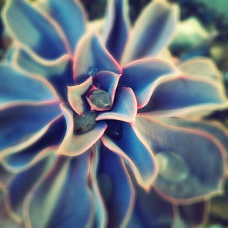 Echeveria | by nudiehead