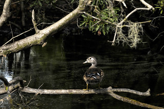 Female Wood Duck at Wakulla Springs | by wfsu.org