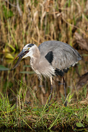 Great Blue Heron hunting | by Antje Schulte