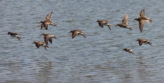 Pectoral Sandpipers | by U.S. Fish and Wildlife Service - Midwest Region