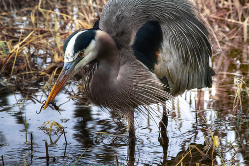 Great Blue Heron Eating Lunch | by The Flannel Photographer