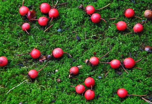 red berries on moss, Sun Yat Sen Garden
