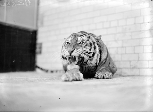 Celtic Tiger? | by National Library of Ireland on The Commons