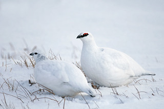 Male and Female Ptarmigan having a wander | by Margaret J Walker