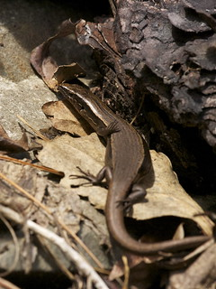 New Zealand skinks - Oligosoma genus | by Steve Attwood