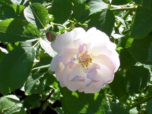 Blassrosa Rose