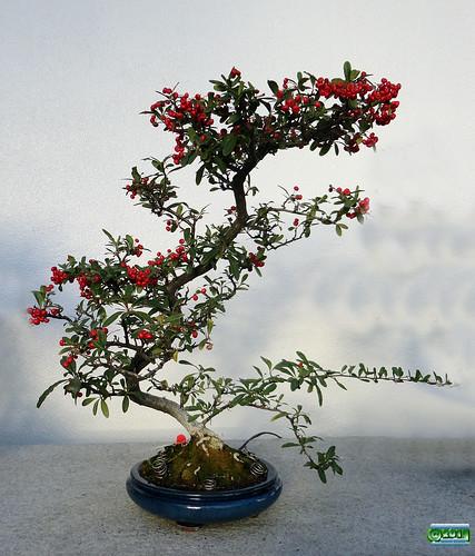 Bonsa penjing nepal firethorn pyracantha crenulata for Bonsai de jardin