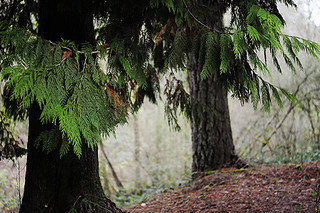 Green Tinged Pine Needles | by julianna smith