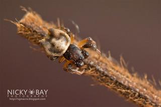 Spiny orb web spider (Gasteracantha sp.) - DSC_5915