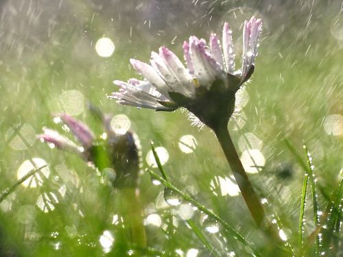 Daisy in the Rain | by S.Gerwel