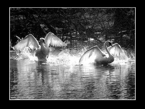 Swans | by Karen Goodwin (aka) BreastCancer Karen