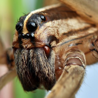 Rabid Wolf Spider -  Rabidosa rabida | by Mill_Burray