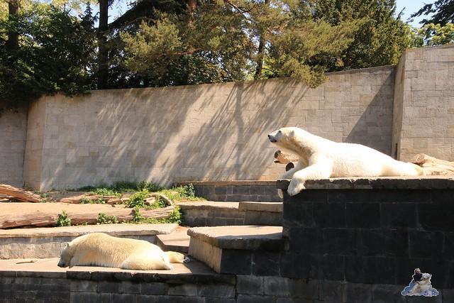 Eisbär Fiete im Zoo Rostock 04.06.2016   059