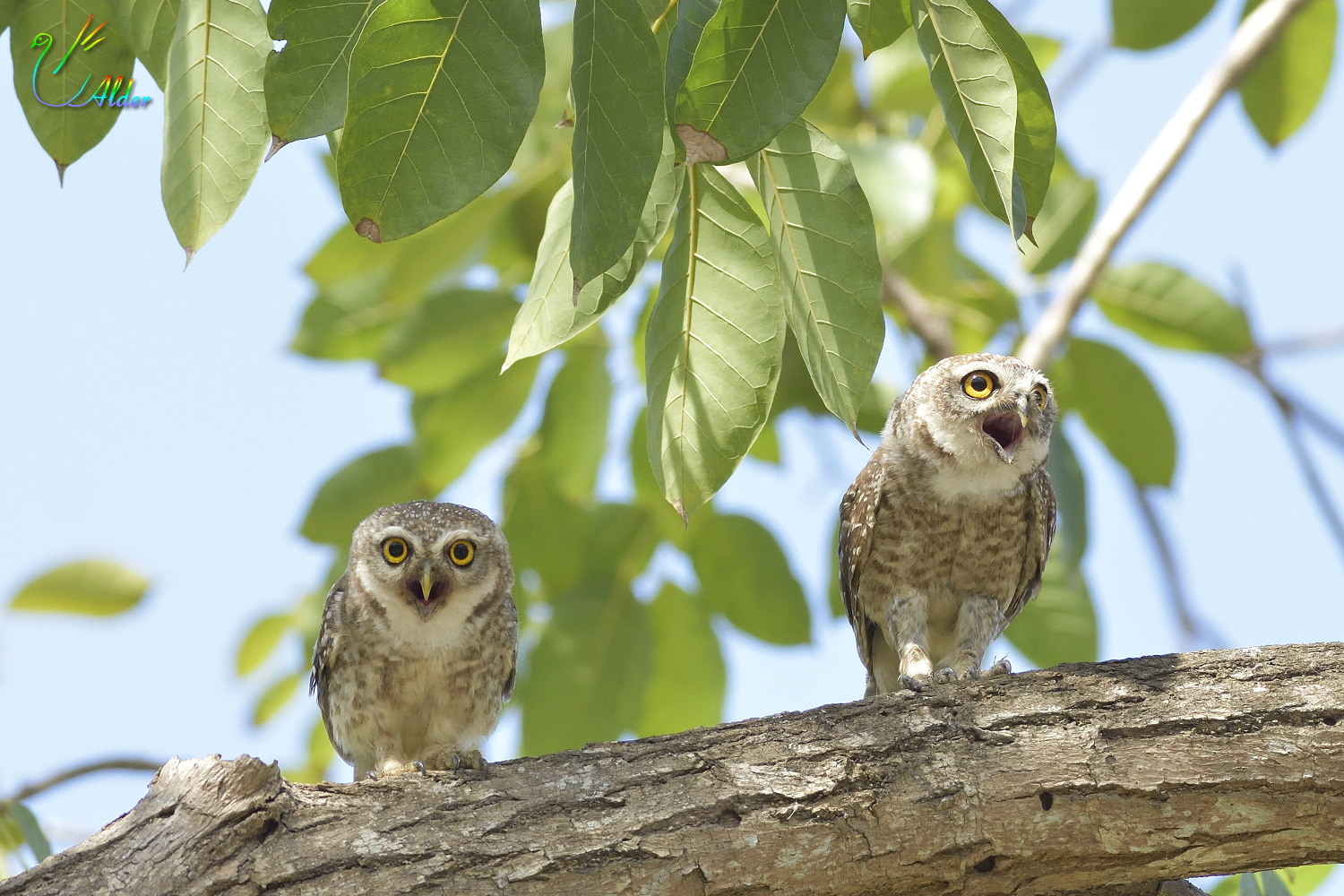 Spotted_Owlet_4526