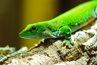 Madagascar green gecko | by Tambako the Jaguar