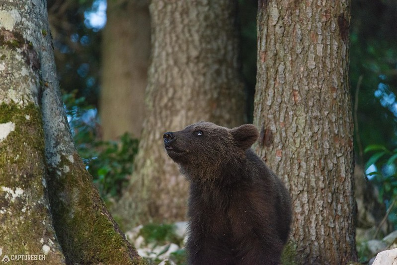 Brown bear 4 - Slovenia