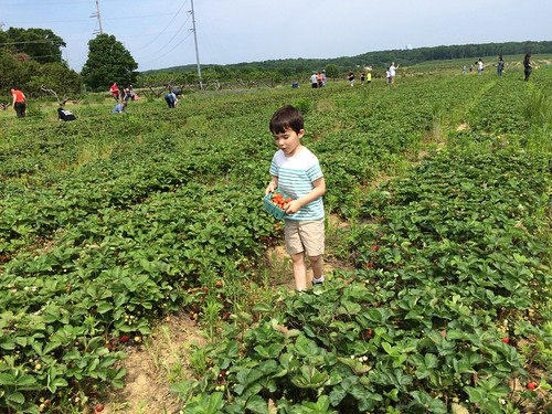 Strawberry Picking 2016