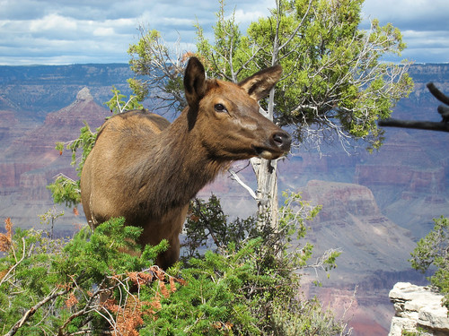 Grand Canyon Nat Park: Young Elk Browsing in Fall: 0049 | by Grand Canyon NPS