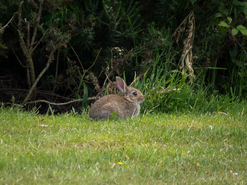 This rabbit was keeping a wary eye on the dogs