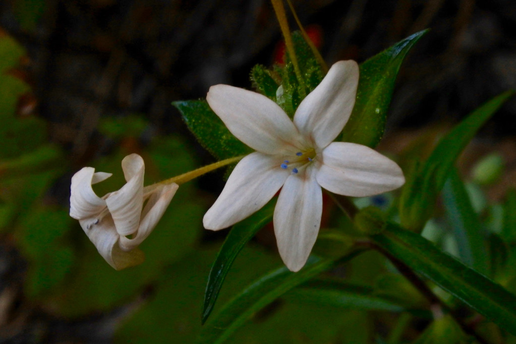Grand Collomia, Large-flower Mountain-trumpet, Large-flowered Collomia