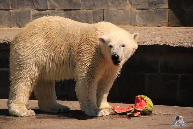 Eisbär Fiete im Zoo Rostock 04.06.2016   0198