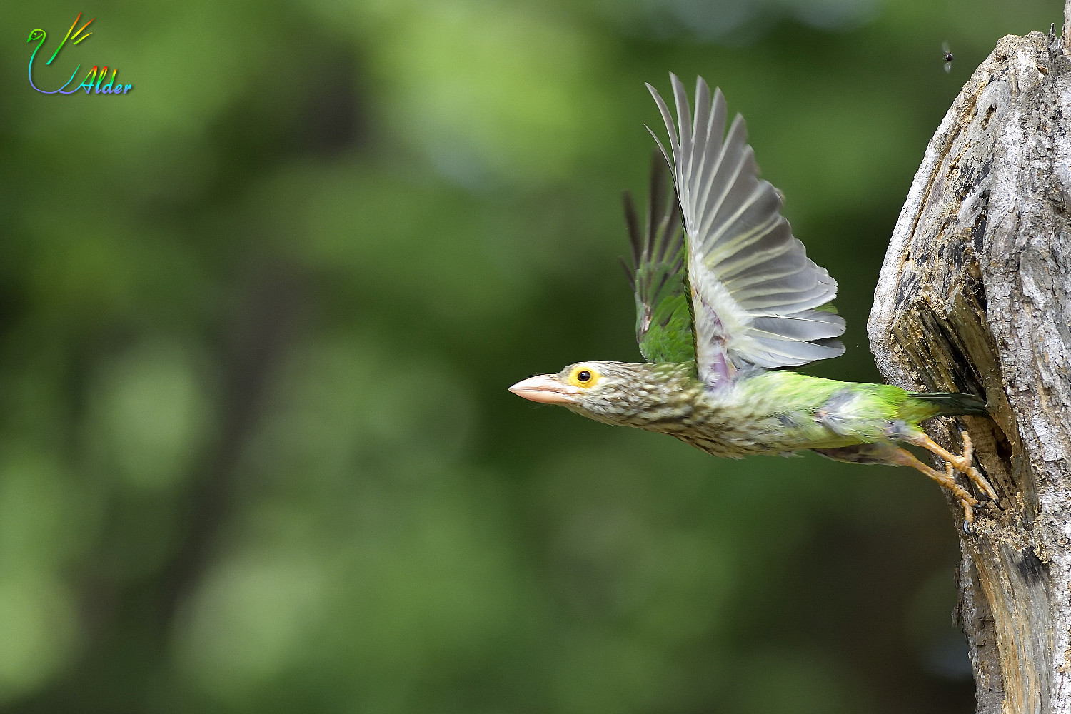 Lineated_Barbet_6482