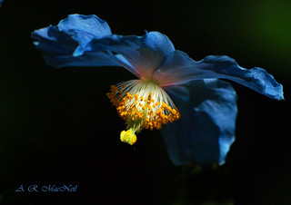 Van Dusen's Blue Poppy 1 - Vancouver, British Columbia | by Barra1man (On Vacation)