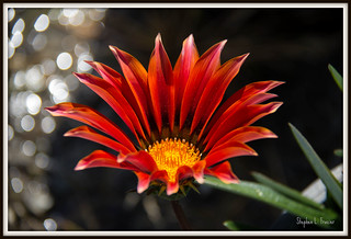 Flaming Petals | by SteveFrazierPhotography.com
