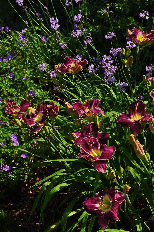 Hemerocallis 'Lord of the Rings'
