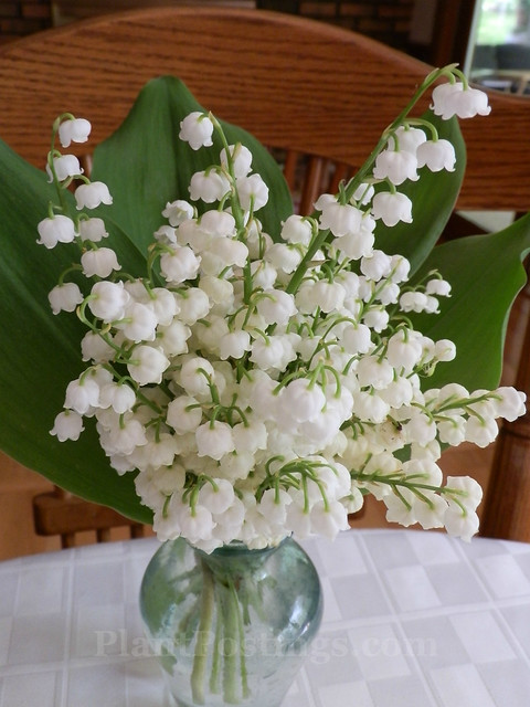 lily of valley 2