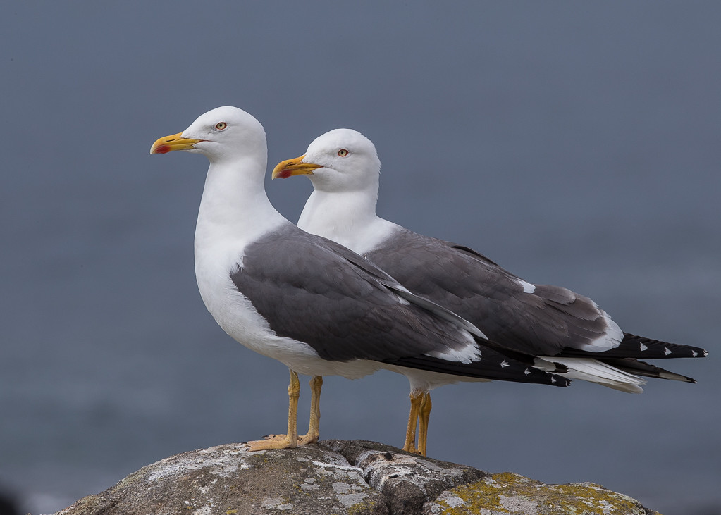 Lesser Black-backed Gull Isle of May,Scotland 2016