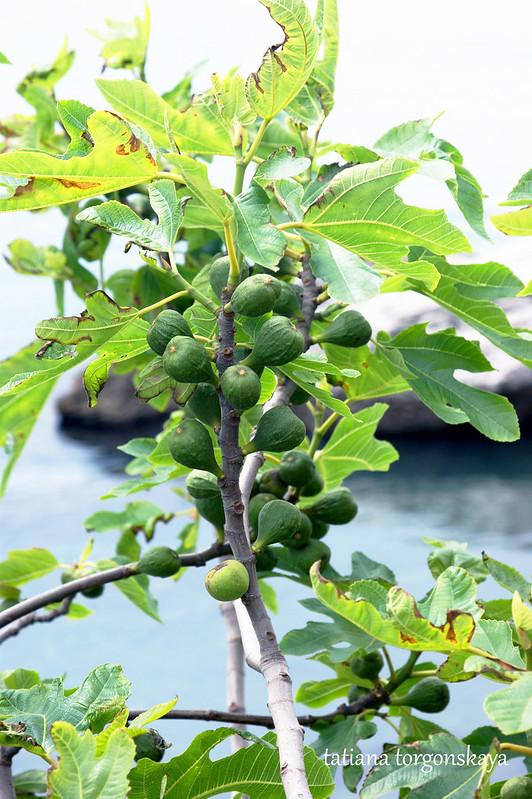 Ветка смоквы