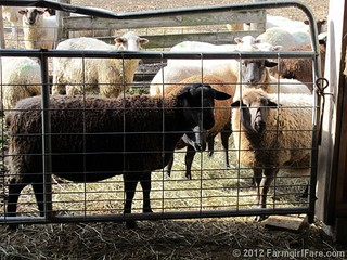 Pregnant sheep looking for treats | by Farmgirl Susan