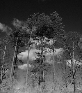 Douglas Firs | by Dendroica cerulea